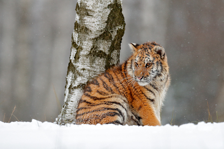 Amur tiger sitting in snow. Tiger in wild winter nature. Action wildlife scene with danger animal. Cold winter in tajga. Snowflake with beautiful background. Siberian tiger in snow fall, birch tree. Stock Photo