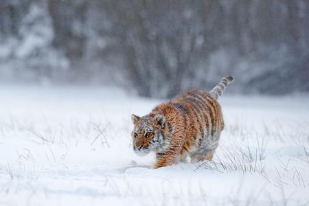Amur tigre courant dans la neige. Action scène de la faune, animal de danger. Hiver froid, taïga, Russie. Flocon de neige avec un beau tigre de Sibérie. Tigre en cours d'exécution avec un visage enneigé. Tigre dans la nature sauvage de l'hiver. Banque d'images - 92501755