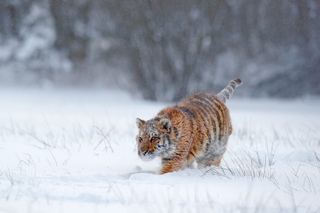 Amur tiger running in the snow. Action wildlife scene, danger animal. Cold winter, taiga, Russia. Snowflake with beautiful Siberian tiger. Running tiger with snowy face. Tiger in wild winter nature.