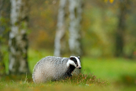 European badger, autumn larch green forest. Mammal environment, rainy day. Badger in forest, animal nature habitat, Germany, Europe. Wildlife scene. Wild Badger, Meles meles, animal in meadow wood.