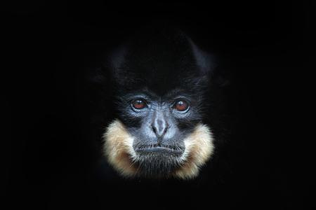 黄色い頬のギボン、ノマスカス・ガブリエラ、野生の猿の詳細な肖像画。美しい動物のアートビュー。自然から暗い森の野生動物のシーン。ベトナ