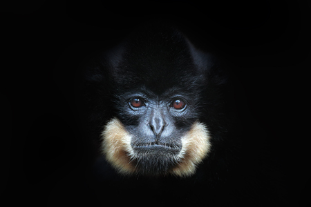 Yellow-cheeked Gibbon, Nomascus gabriellae, detail portrait of wild monkey. Art view of beautiful animal. Dark forest wildlife scene from the nature. Gibbon from  Cat Tien National Park, Vietnam. 스톡 콘텐츠