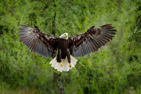 Bald Eagle, Haliaeetus leucocephalus, flying brown bird of prey with white head, yellow bill, symbol of freedom of the United States of America. Bald eagle fly with open wings. Eagle in green forest.