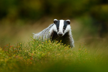 Cute Mammal environment, rainy day. Badger in forest, animal nature habitat, Germany, Europe. Wildlife scene. Wild Badger, Meles meles, animal in wood. European badger, autumn pine green forest.