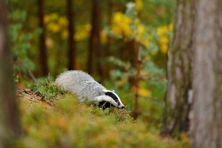 Tejón en el bosque, hábitat de la naturaleza animal, Alemania, Europa. Escena de vida salvaje Wild Badger, Meles meles, animal en madera. Tejón europeo, otoño bosque de pinos verdes. Ambiente de mamífero, día lluvioso. Foto de archivo - 92393230