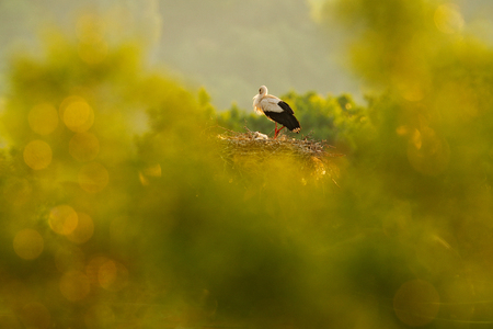 Beautiful light in nature, with birds in nest. White stork, Ciconia ciconia, in nest with two young. Wildlife scene from the nature. Morning sun with bird in green vegetation. Bulgaria.