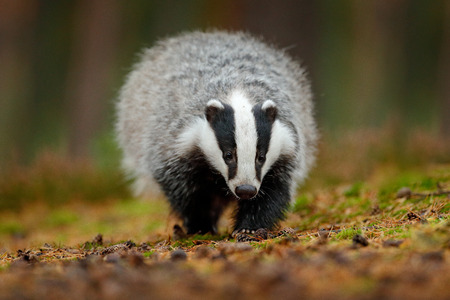 Badger running in forest, animal nature habitat, Germany, Europe. Wildlife scene. Wild Badger, Meles meles, animal in wood. European badger, autumn pine green forest. Mammal environment, rainy day. Stock Photo