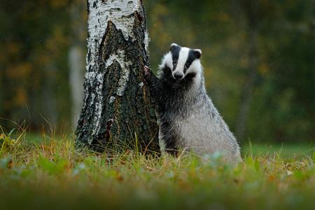 숲, 동물 자연 서식지, 독일에서에서 오소리. 야생 동물 장면. 야생 오소리, Meles meles, 나무에있는 동물. 유럽 오소리, 가을 소나무 녹색 숲. 포유류 환경