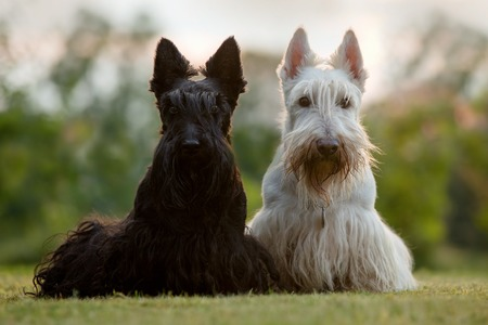 Scottish terrier, sitting on green grass lawn, flower forest in the background, Scotland, United Kingdom. Beautiful pair of black and white (wheaten) dog in the garden. Nice animals with evening sun.