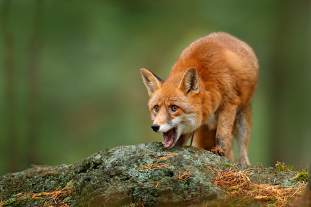 Animal, green environment, stone. Fox in forest. Cute Red Fox, Vulpes vulpes, at forest with flowers, moss stone. Wildlife scene from nature habitat. Fox hidden in green vegetation. Open mouth muzzle.