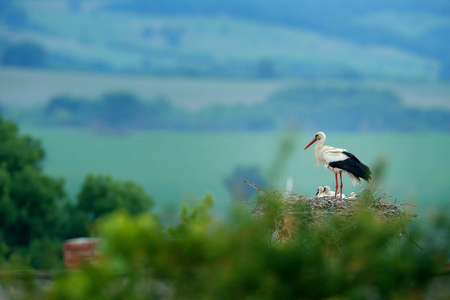 White stork, Ciconia ciconia, in nest with two young. Stor with beautiful landscape. Nesting bir, nature habitat. Wildlife scene from the nature. Morning sun with bird in green vegetation. Bulgaria.