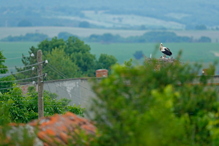 Stork with beautiful landscape. Nesting bir, nature habitat. Wildlife scene from the nature. Morning sun with bird in green vegetation. Bulgaria. White stork, Ciconia ciconia, in nest with two young.