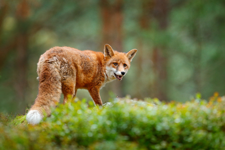 Animal, green environment. Fox in green forest. Cute Red Fox, Vulpes vulpes, at forest with flowers, moss stone. Wildlife scene from nature. Animal in nature habitat. Fox hidden in green vegetation.