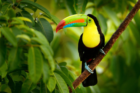 Keel-billed Toucan, Ramphastos sulfuratus, bird with big bill. Toucan sitting on the branch in the forest, Boca Tapada, green vegetation, Costa Rica. Nature travel in central America.
