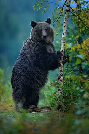 Bear rise up, get on ones hind legs, with larch autumn tree. Brown bear before winter. Slovakia mountain Mala Fatra, green forest. Big female, dangers animal, wood habitat. Wildlife from Europe.