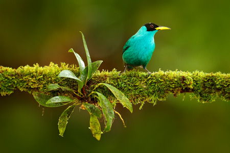 Green Honeycreeper, Chlorophanes spiza, exotic tropic malachite green and blue bird form Costa Rica. Tanager from tropic forest. Close-up portrait of nice animal in habitat. Detail of beautiful bird. Stok Fotoğraf - 92393559