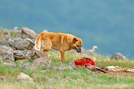 Karakachan, dog originated in Balkan as a mountain livestock guardian dog. Big dog with carcass of sheep, bloody skeleton with fur.  Rock mountain, nature habitat, Madzarovo, Bulgaria, Rhodopes.