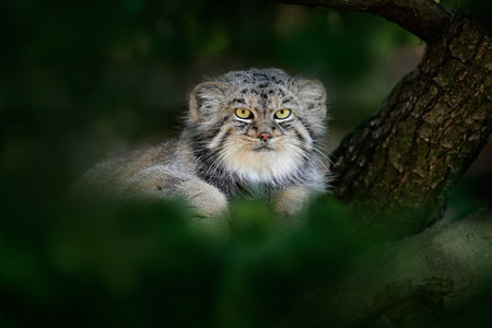 Pallass cat or Manul, Otocolobus manul, cute wild cat from Asia. Manul hidden in green tree leaves. Wildlife scene from the nature. Animal in the nature habitat. Portrait of nice wild cat in Mongolia