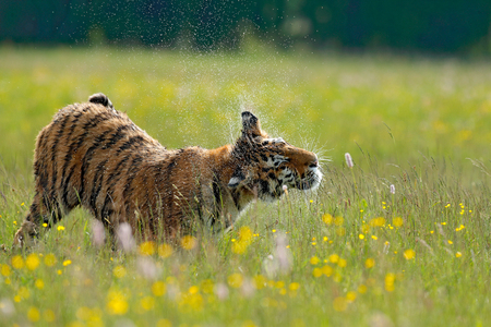 Tiger in summer. Flowered meadow with tiger. Tiger with ping and yellow and pink flowers. Siberian tiger in beautiful habitat. Amur wild cat sitting in the grass. Tiger with water around head. Stock Photo