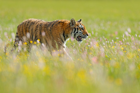 Tiger in summer. Flowered meadow with tiger. Tiger with ping and yellow and pink flowers. Siberian tiger in beautiful habitat. Amur wild cat sitting in the grass.
