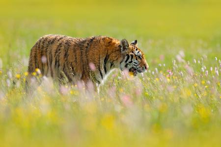 꽃의 호랑이. 호랑이와 꽃된 초원입니다. 핑과 노란색과 분홍색 꽃 호랑이. 아름다운 서식지에서 시베리아 호랑이. 아무르 야생 고양이 잔디에 앉아입 스톡 콘텐츠