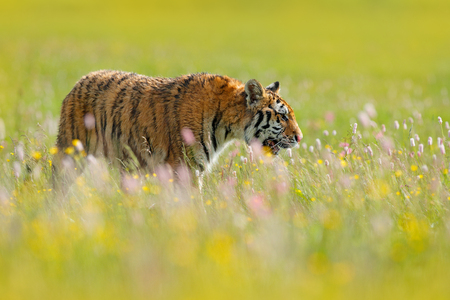 Tiger in blooms. Flowered meadow with tiger. Tiger with ping and yellow and pink flowers. Siberian tiger in beautiful habitat. Amur wild cat sitting in the grass. Wildlife scene from nature.