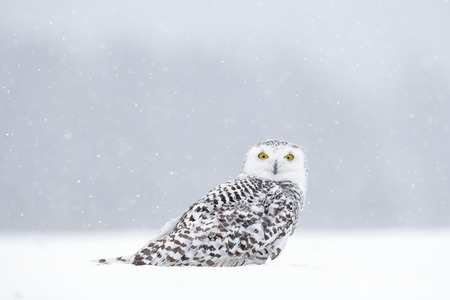 Winter scene with white owl. Snowy owl, Nyctea scandiaca, rare bird sitting on the snow, snowflakes in wind, Manitoba, Canada. Wildlife scene from snowy nature. Yellow eyes in white.