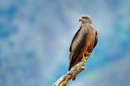 Black Kite, Milvus migrans, brown bird of prey sitting larch tree branch, animal in the habitat. Wildlife scene from nature.  Stock Photo