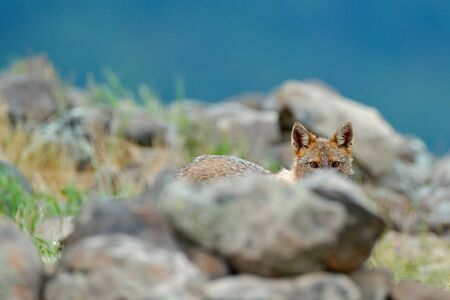 Hidden Golden jackal, Canis aureus, feeding scene with rock meadow, Madzharovo, Eastern Rhodopes, Bulgaria. Wildlife Balkan. Wild dog behaviour scene, stone nature. Mountain animal in the habitat.