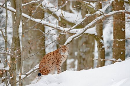 Lynx in snow forest. Portrait of Eurasian Lynx in winter. Wildlife scene from Czech nature. Snowy cat in nature habitat. Detail close-up portrait animal. Cold nature animal. White nature, wild cat.