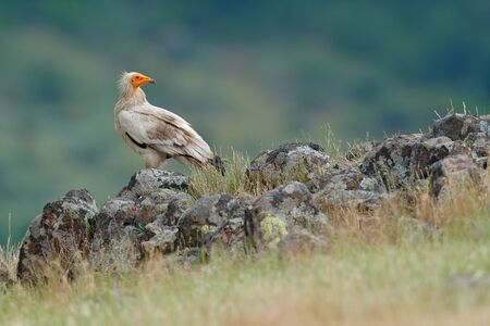 Egyptian vulture, Neophron percnopterus, big bird of prey sitting on stone, rock mountain, nature habitat, Madzarovo, Bulgaria, Eastern Rhodopes. White vulture, yellow bill.