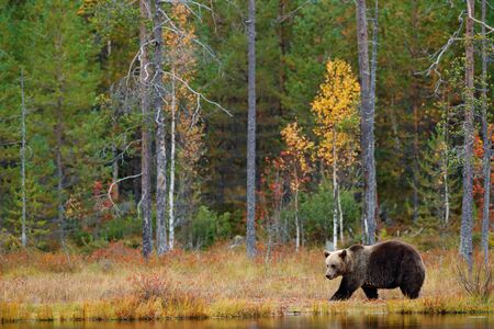 Autumn forest with bear. Beautiful brown bear walking around lake with autumn colours. Dangerous animal in nature forest and meadow habitat. Wildlife scene from Finland near Russia bolder.