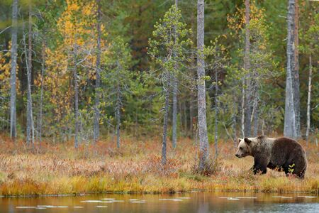 Beautiful brown bear walking around lake with autumn colours. Dangerous animal in nature forest and meadow habitat. Wildlife scene from Finland near Russia bolder. Autumn forest with bear.  Stock Photo