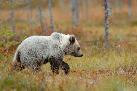 Autumn forest with bear cub. Beautiful baby brown bear walking around lake with autumn colours. Dangerous animal in nature forest and meadow habitat. Wildlife scene from Finland near Russia bolder.