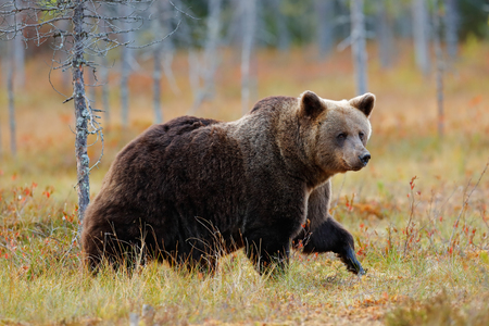 Beautiful big brown bear walking around lake with autumn colours. Dangerous animal in nature forest and meadow habitat. Wildlife scene from Finland near Russia bolder. Autumn forest with bear.  Stock Photo