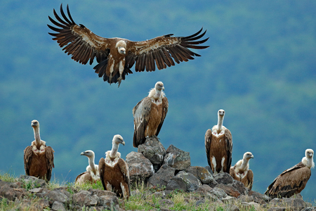 Griffon Vulture, Gyps fulvus, big birds of prey sitting on stone, rock mountain, nature habitat, Madzarovo, Bulgaria, Eastern Rhodopes. Wildlife scene, hide. Wildlife scene, Balkan. Group of vultures. 版權商用圖片