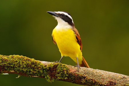 Yellow bird from Costa Rica. Great Kiskadee, Pitangus sulphuratus, brown and yellow tropic tanager with dark green forest in the background, nature habitat, Costa Rica. Wildlife scene from nature. Stock Photo
