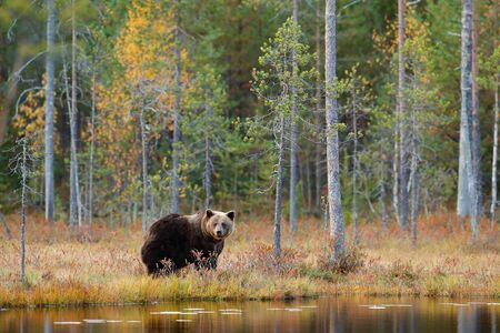 Dangerous animal in nature forest and meadow habitat. Wildlife scene from Finland near Russia bolder. Autumn forest with bear. Beautiful big brown bear walking around lake with autumn colours.  Stock Photo