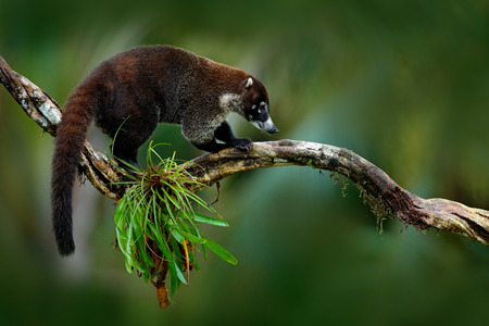 Raccoon, Procyon lotor, on the tree in National Park Manuel Antonio, Costa Rica. Animal in the forest. Raccoon with long tail. Mammal in the nature habitat. Animal from tropic Costa Rica. Stock Photo