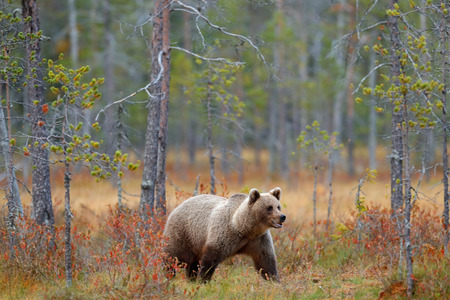 Bear in the forest. Beautiful big brown bear walking around lake with autumn colours. Dangerous animal in nature forest and meadow habitat. Wildlife scene from Finland near Russia bolder.