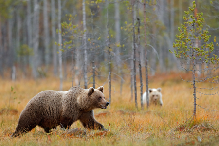 Autumn forest with bear cub with mother. Beautiful baby brown bear hiden in the forest. Dangerous animal in nature forest and meadow habitat. Wildlife scene from Finland near Russia bolder with bear.