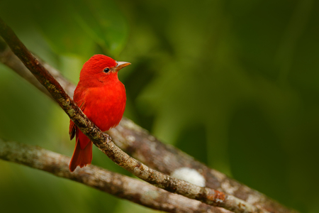 Summer Tanager, Piranga rubra, red bird in the nature habitat. Tanager sitting on the green palm tree. Birdwatching in Costa Rica. Wildlife scene from nature, Laguna de Lagarta Lodge, Costa Rica.