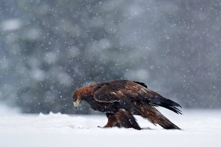 Snow winter with eagle. Bird of prey Golden Eagle with kill hare in winter with snow. Wildlife scene from Sweden nature. Bird feeding catch in the snow. Cold winter with eagle. Beautiful snowflakes.