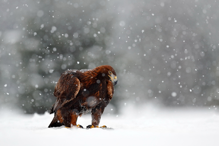 Snow winter with eagle. Bird of prey Golden Eagle with kill hare in winter with snow. Wildlife scene from Norway nature. Bird feeding catch in the snow. Cold winter with eagle.Beautiful snowflakes. Stock Photo