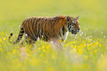 Tiger with ping and yellow flowers. Siberian tiger in beautiful habitat. Amur tiger sitting in the grass. Action wildlife summer scene with danger animal. Tajga in Russia. Wild cat in nature. Stock Photo