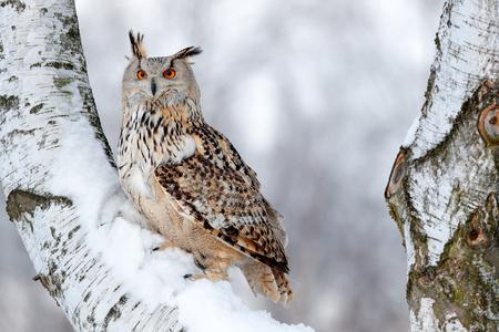 フクロウとの冬のシーン。ビッグ東シベリアイーグルフクロウ、ブボブボシビリカス、森の中で雪とヒルロックに座っています。美しい動物とバーチの木。ロシアの冬からの鳥。雪に覆われた鳥。 写真素材 - 92393868