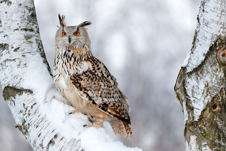 Winter scene with owl. Big Eastern Siberian Eagle Owl, Bubo bubo sibiricus, sitting on hillock with snow in the forest. Birch tree with beautiful animal. Bird from Russia winter. Snow covered bird. Stockfoto