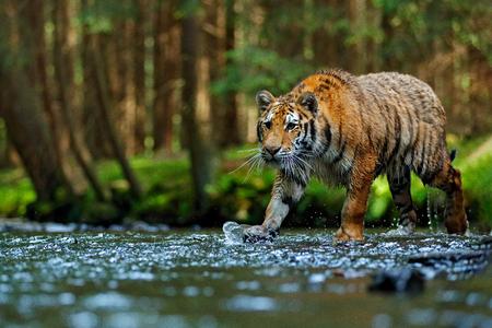 Tiger wildlife scene, wild cat, nature habitat. Amur tiger walking in river water. Danger animal, tajga, Russia. Animal in green forest stream. Grey stone, river droplet. Siberian tiger splash water.
