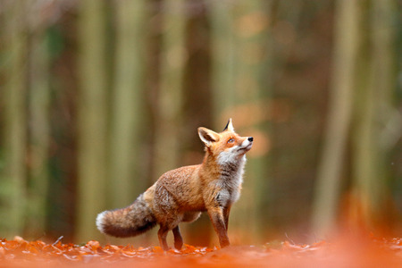 Cute Red Fox, Vulpes vulpes, fall forest. Beautiful animal in the nature habitat. Orange fox, detail portrait, Czech. Wildlife scene from the wild nature. Red fox running in orange autumn leaves.  Zdjęcie Seryjne