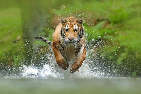 Tygrys syberyjski, Panthera tigris altaica, bezpośredni widok twarzy z niskiego kąta, biegnący w wodzie bezpośrednio na aparat z rozpryskiwaniem się wody. Atakowanie drapieżnika w akcji. Tygrys w środowisku tajgi. Zdjęcie Seryjne